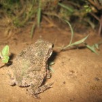 Frosch in Paraguay